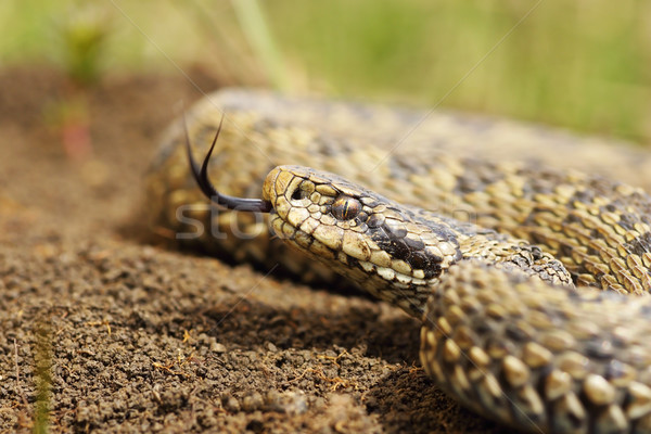 beautiful meadow adder close up of head Stock photo © taviphoto