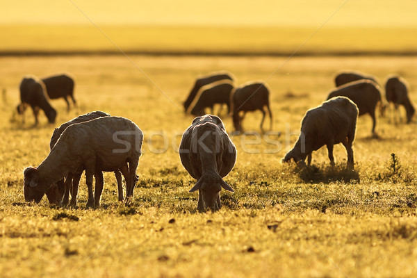 sheep herd grazing in colorful sunset light Stock photo © taviphoto