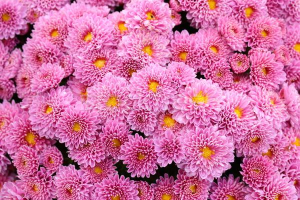 ピンク 菊 詳細 花束 庭園 美 ストックフォト © taviphoto