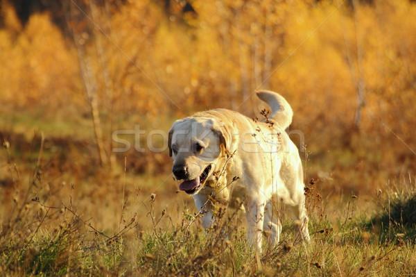 Jachthond bos werk sport lopen Stockfoto © taviphoto