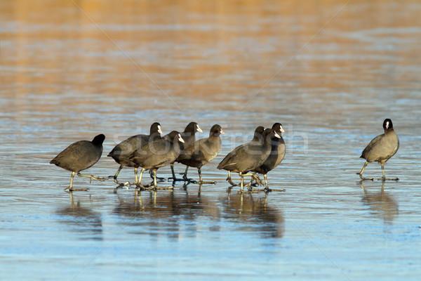 Sereg sétál fagyott tó felület víz Stock fotó © taviphoto