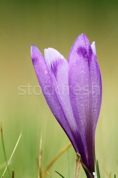 Pormenor primavera açafrão roxo açafrão Foto stock © taviphoto