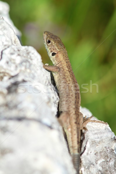 lacerta viridis  juvenile  Stock photo © taviphoto