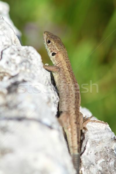 Juvenilis európai zöld gyík kő bőr Stock fotó © taviphoto