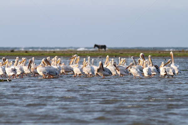 pelicans in shallow water Stock photo © taviphoto