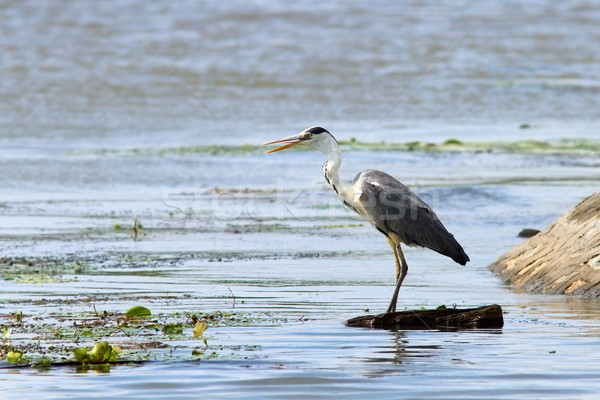 grey heron looking for prey Stock photo © taviphoto