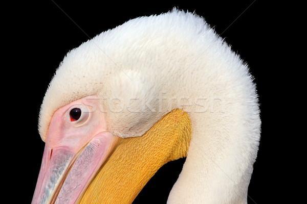 closeup of great pelican head on dark background Stock photo © taviphoto