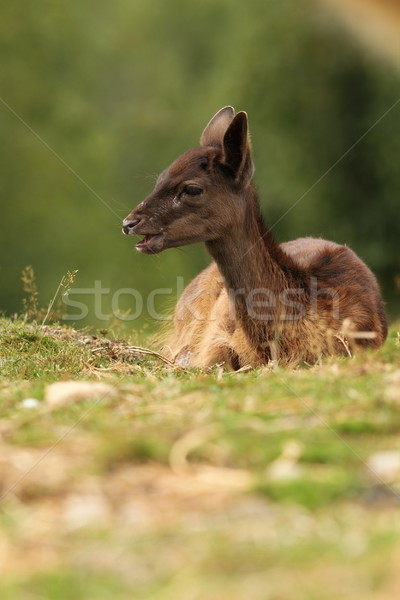 dark fallow deer calf Stock photo © taviphoto