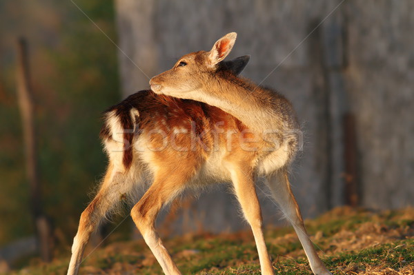fallow deer calf scratching Stock photo © taviphoto