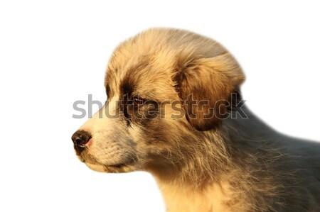ルーマニア語 羊飼い 子犬 白 肖像 孤立した ストックフォト © taviphoto
