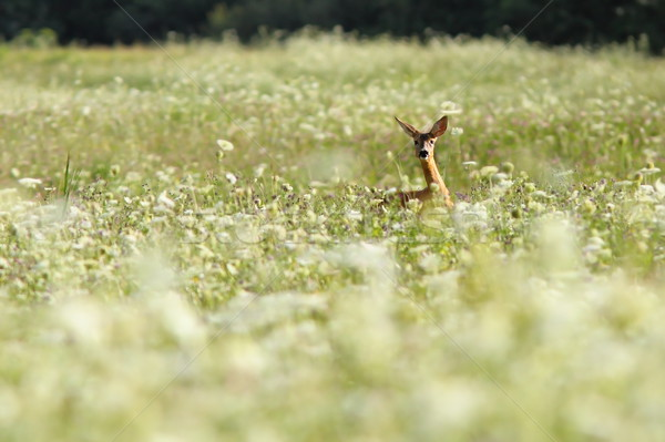 roe deer in big grass Stock photo © taviphoto