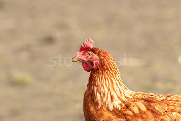 beige hen close up Stock photo © taviphoto
