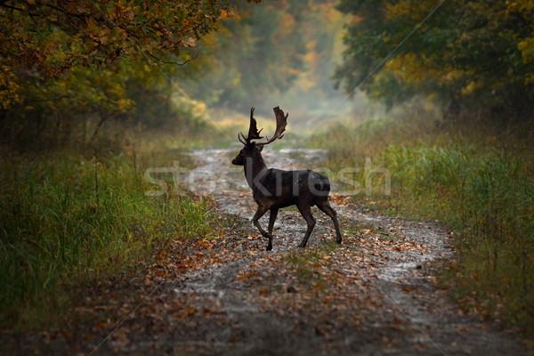 鹿 バック 森林 道路 夜明け ストックフォト © taviphoto