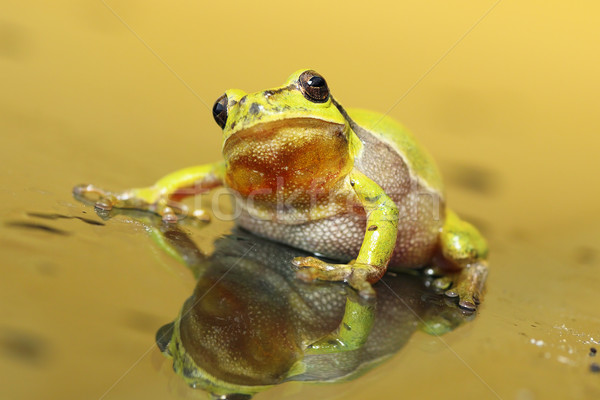 cute tree frog looking at the camera Stock photo © taviphoto