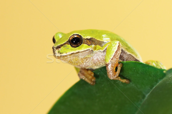 european tree frog on a leaf Stock photo © taviphoto