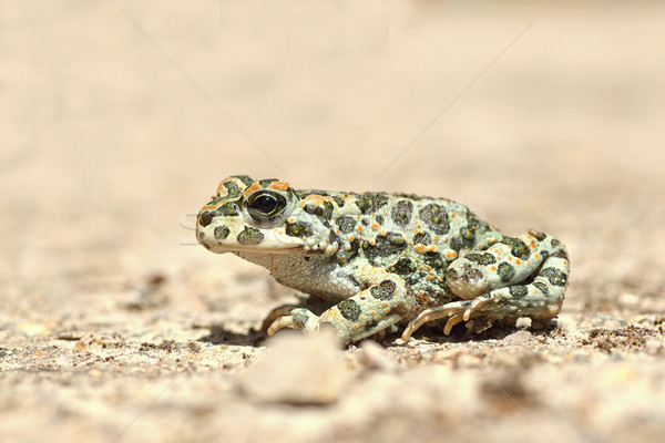full length image of european green toad Stock photo © taviphoto