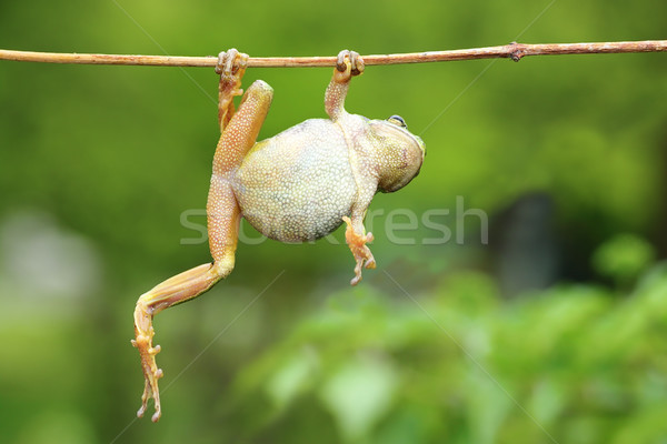 green tree frog climbing on twig Stock photo © taviphoto