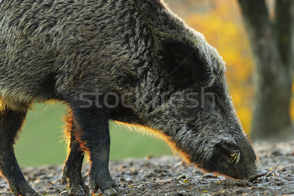 closeup of wild boar in sunset light Stock photo © taviphoto