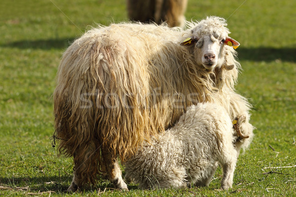 mother sheep feeding her young Stock photo © taviphoto