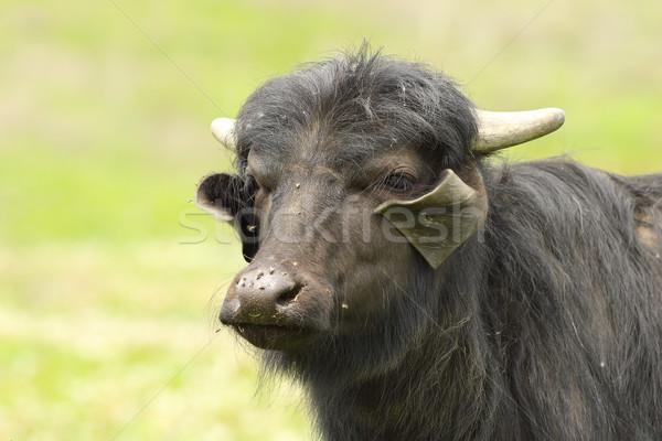 portrait of domestic buffalo Stock photo © taviphoto