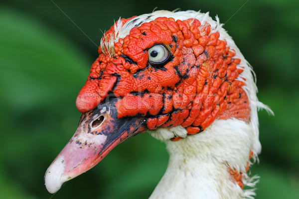 portrait of domestic ugly muscovy duck Stock photo © taviphoto