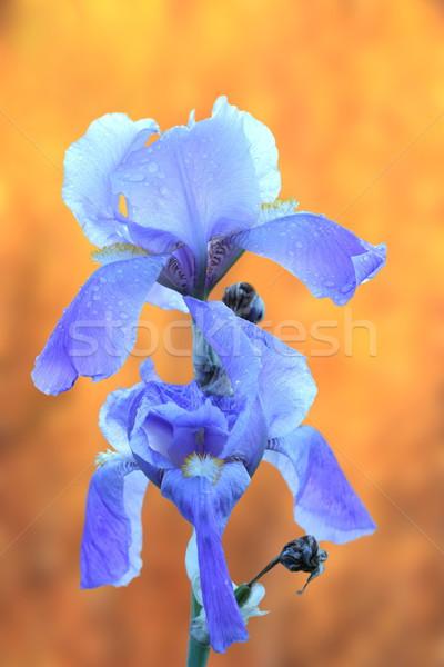 Iris otono hermosa frescos naranja flor Foto stock © taviphoto