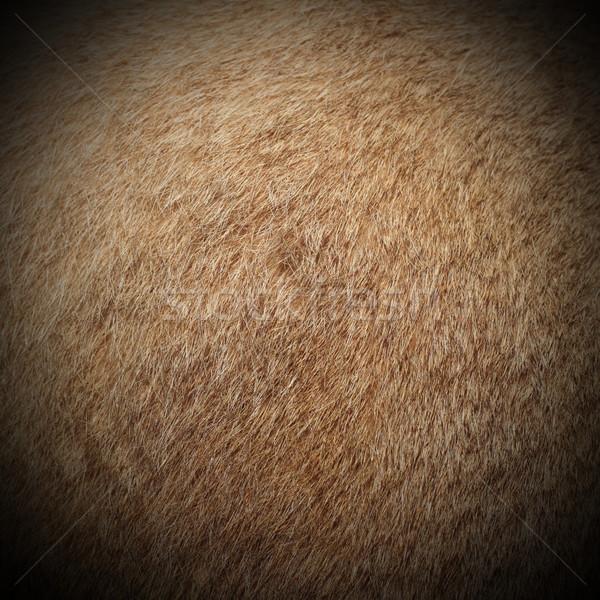 Puma kürk gerçek puma puma Stok fotoğraf © taviphoto