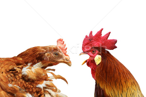 family metaphor with hen and rooster Stock photo © taviphoto