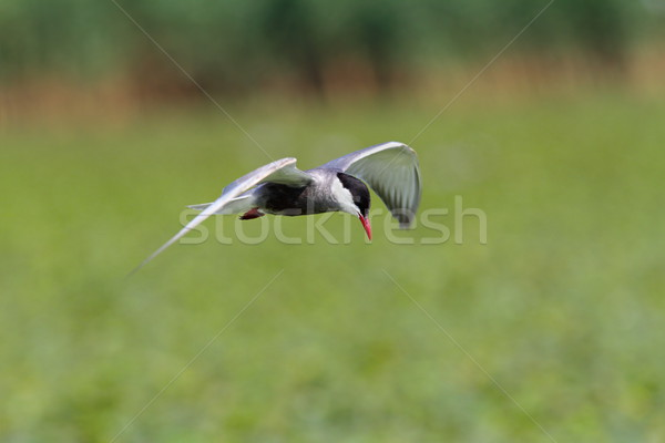 Stock photo: whiskered tern in flight