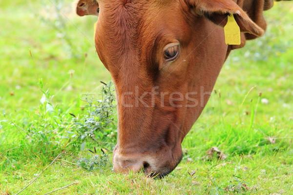 Barna friss fű zöld legelő tehén Stock fotó © taviphoto