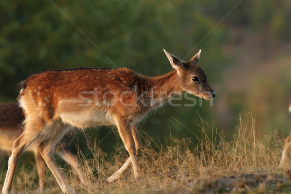 deer calf walking on a glade Stock photo © taviphoto