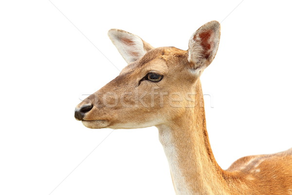 Stock photo: isolated portrait of deer hind