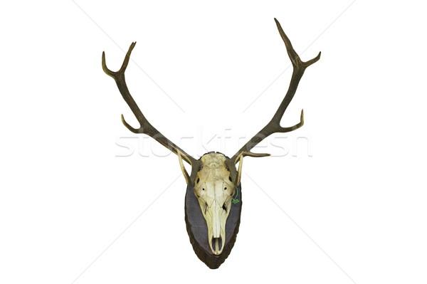 Rosso cervo caccia trofeo muro isolamento Foto d'archivio © taviphoto