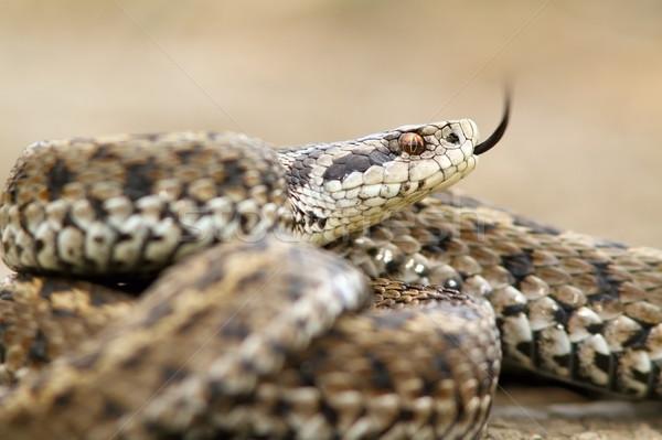 ursinii viper closeup Stock photo © taviphoto