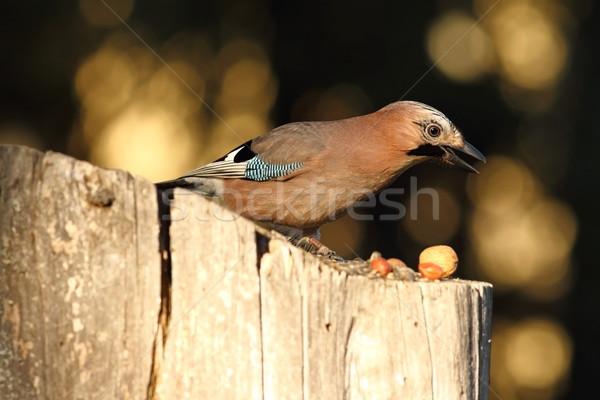 eurasian jay searching food on birdfeeder Stock photo © taviphoto