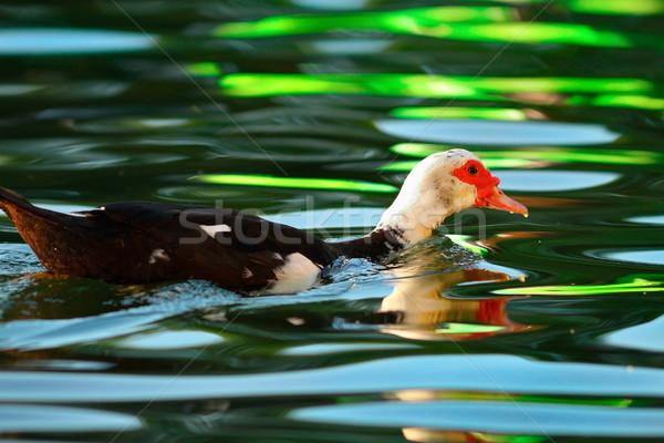 Ente farbenreich Teich Schwimmen voll Reflexionen Stock foto © taviphoto