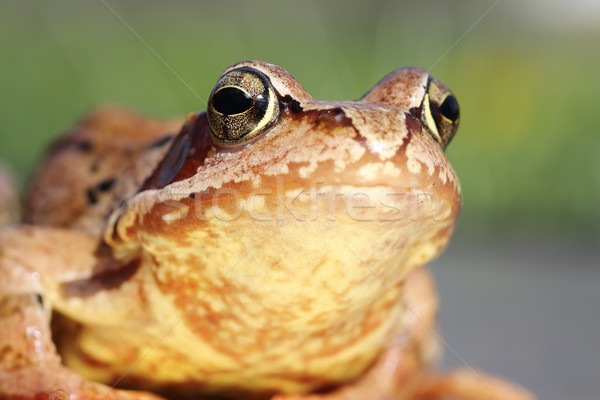 macro portrait of common frog  Stock photo © taviphoto