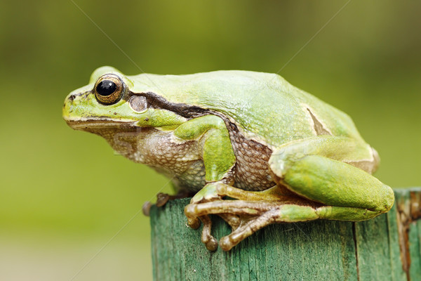 beautiful green tree frog close-up Stock photo © taviphoto