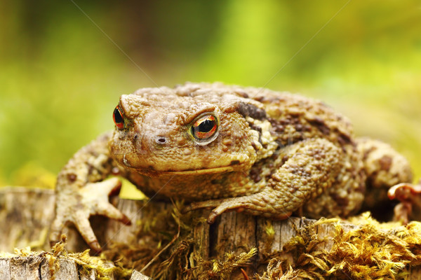 closeup of ugly common brown toad Stock photo © taviphoto