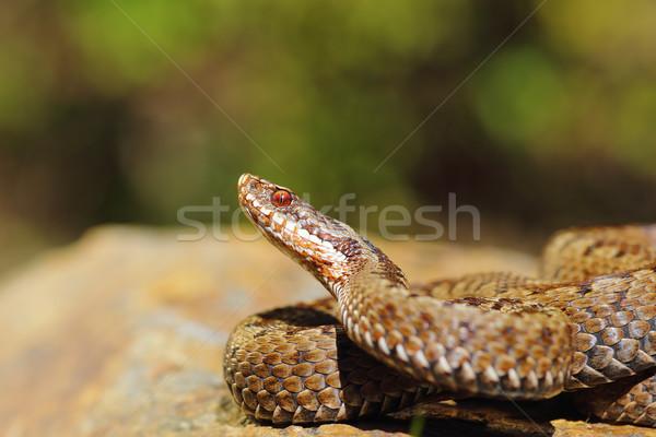 closeup of female common crossed adder  Stock photo © taviphoto