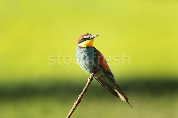 european bee eater perched on twig Stock photo © taviphoto