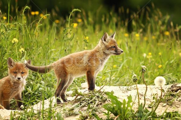 Róka medvebocs erdő európai piros tisztás Stock fotó © taviphoto