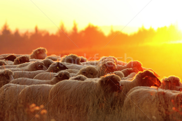 flock of sheep heading to the farm at sunset Stock photo © taviphoto