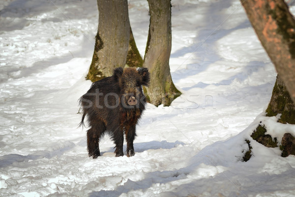 curious wild boar in winter scene Stock photo © taviphoto