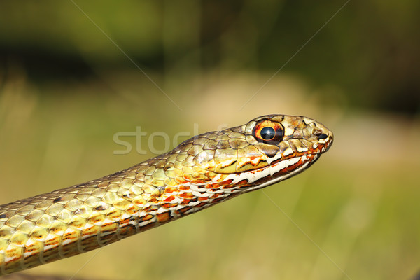 Portrait orientale serpent oeil visage herbe Photo stock © taviphoto