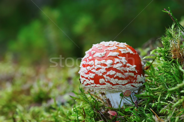 red fly agaric on forest ground Stock photo © taviphoto