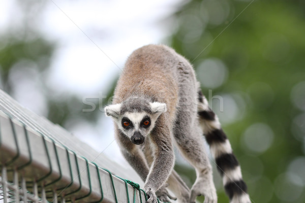 ring tailed lemur close up Stock photo © taviphoto