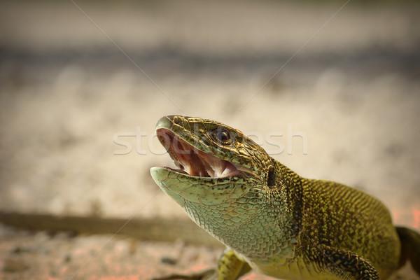Portre öfkeli yeşil kertenkele renk cilt Stok fotoğraf © taviphoto
