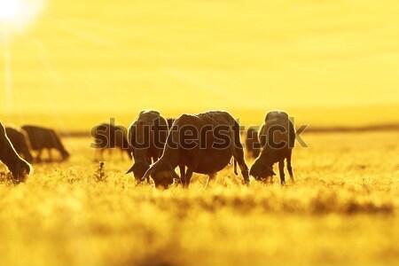sheep herd grazing at dawn Stock photo © taviphoto
