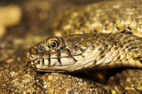detail of dice snake head Stock photo © taviphoto